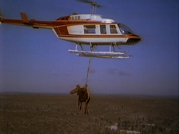 Moose carried by a helicopter. Awesome.