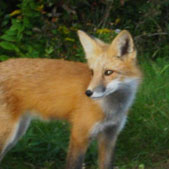 A Red Fox in the P.E.I. National Park